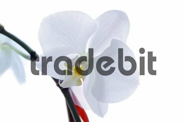 Orchid Phalaenopsis flower, white, high-key, cutout