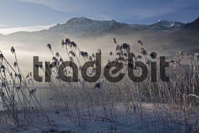 Frost-covered reeds on the shore of the Kochelsee Lake Kochel enshrouded in mist, Bavarian pre-Alps, Upper Bavaria, Bavaria, Germany, Europe