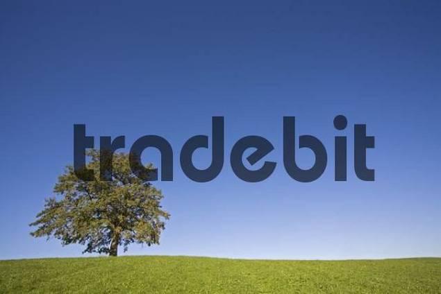 Lone tree on a meadow, Bavarian pre-Alps, Upper Bavaria, Bavaria, Germany, Europe