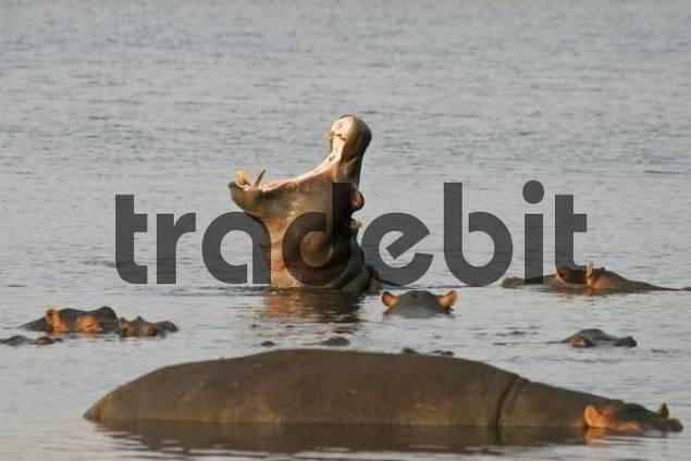 Yawning Hippopotamus, Hippo Hippopotamus amphibius, Cuando River, Caprivi Strip, Namibia, Africa