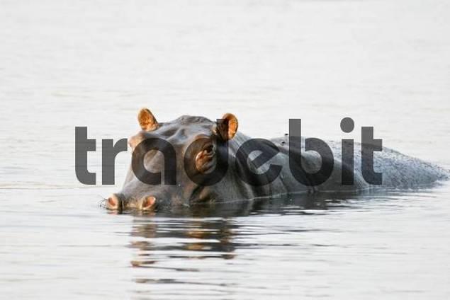 Hippopotamus, Hippo Hippopotamus amphibius, Cuando River, Caprivi Strip, Namibia, Africa