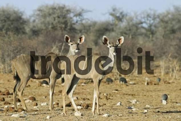 Greater Kudus Tragelaphus strepsiceros, Etosha National Park, Namibia, Africa