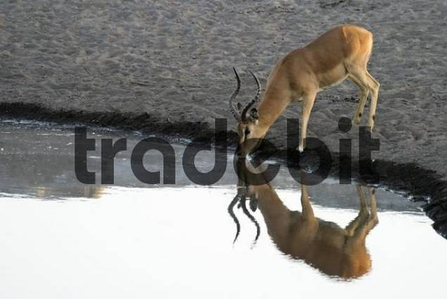 Impala Aepyceros melampus drinking from a waterhole, Etosha National Park, Namibia, Africa