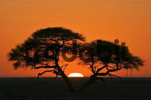 Umbrella Thorn Acacia Acacia tortilis at sunrise in Etosha National Park, Namibia, Africa