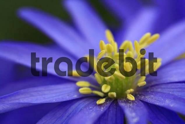 Detail, Greek Windflower Anemone blanda blossom, stamen