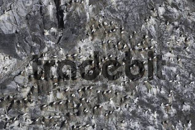 Colony of Northern Gannets Morus bassanus, Runde Island, Goksoeyr, Norway, Scandinavia, Europe