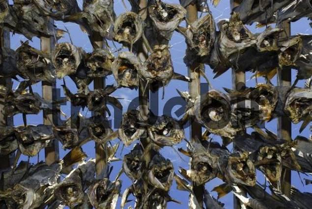 Dried fish hanging on a drying rack, Senja Peninsula, Norway, Europe