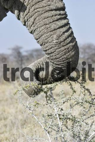 The trunk of an African Bush Elephant or Savanna Elephant Loxodonta africana, Etosha National Park, Namibia, Africa