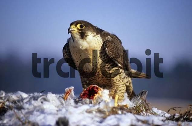Peregrine Falcon Falco peregrinus with pigeon kill, prey