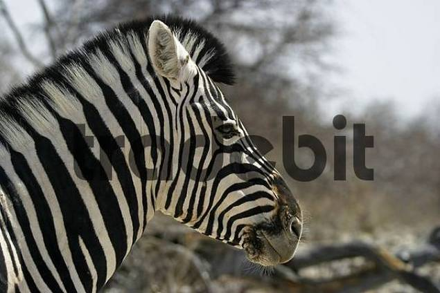 Plains Zebra, Common Zebra or Burchells Zebra Equus quagga, Etosha National Park, Namibia, Africa