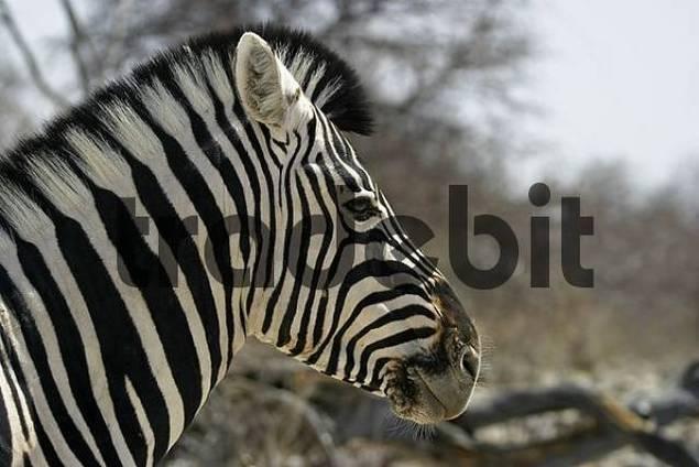 Plains Zebra, Common Zebra or Burchells Zebra Equus quagga, Etosha National Park, Namibia, Africa