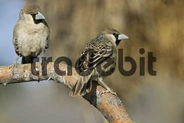 Sociable Weavers Philetairus socius, Etosha National Park, Namibia, Africa