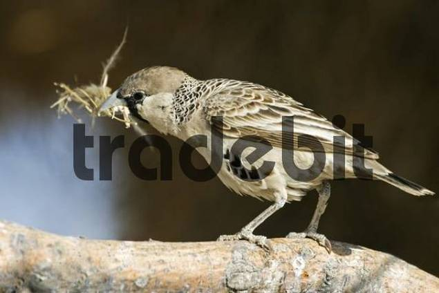 Sociable Weaver Philetairus socius with grass in its beak for building its nest, Etosha National Park, Namibia, Africa