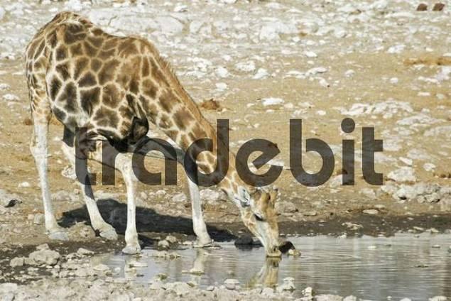 Giraffe Giraffa camelopardalis drinking from a waterhole, Etosha National Park, Namibia, Africa