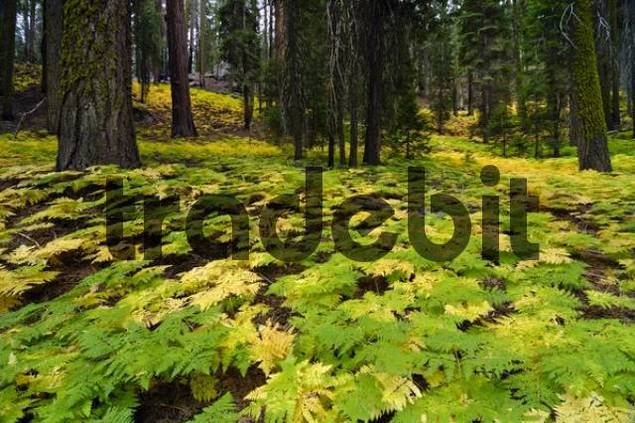 Dense fern underbrush on the forest floor in Sequoia National Park, California, USA