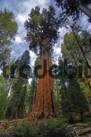 General Sherman 275 ft or 83.8 m, the worlds tallest Giant Sequoia Sequoiadendron giganteum, Sequoia National Park, California, USA