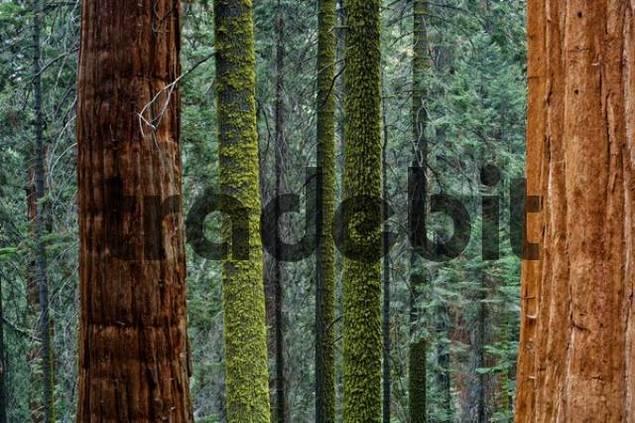 Giant Sequoia Sequoiadendron giganteum and spruce tree trunks, Sequoia National Park, California, USA