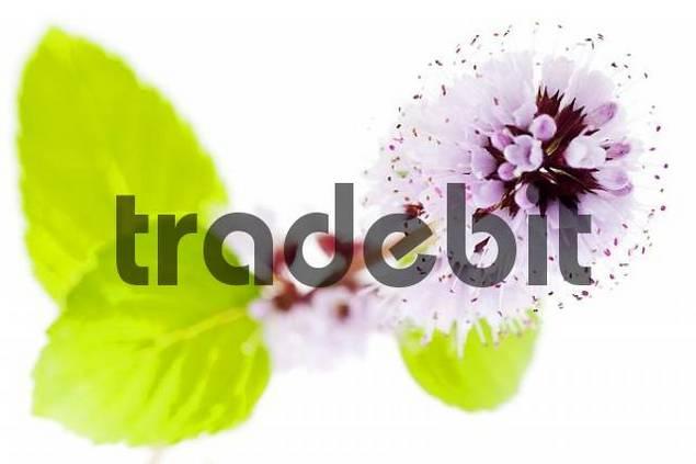 Detail, Water Mint Mentha aquatica, Mentha hirsuta, violet blossoms