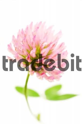 Alsike Clover Trifolium hybridum, violet blossom