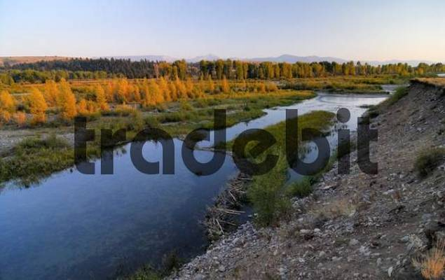 Beaver dam damming up a river in Grand Teton National Park, Wyoming, USA, North America