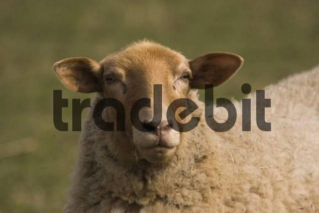 Coburger Fuchsschaf or Coburg Sheep, breed of domestic sheep Ovis aries