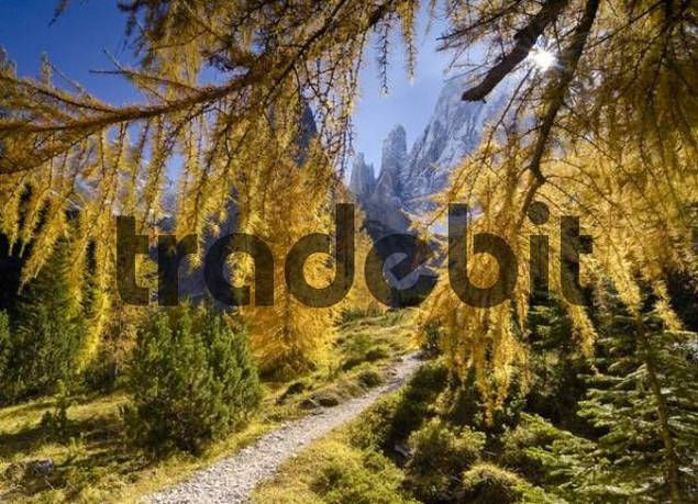 Yellow larches Larix in autumn along a hiking trail in Fischlein Valley, Dolomites, Bolzano-Bozen, Italy