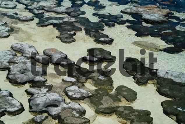 Stromatolites on the beach, Hamelin Pool Marine Nature Reserve, Shark Bay, Western Australia, Australia
