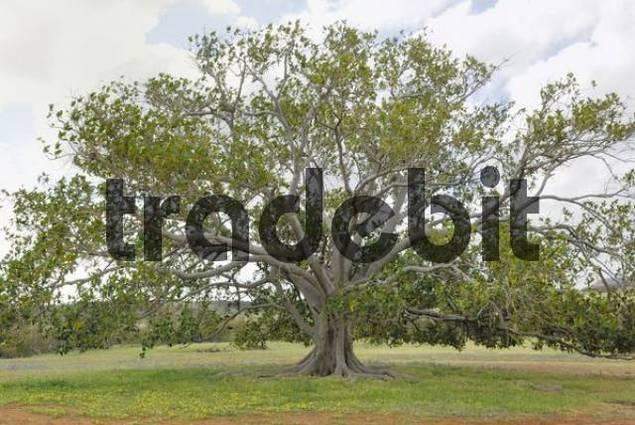 Moreton Bay Fig Ficus macrophylla, Western Australia, Australia