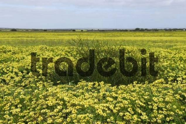 Cape Weed or Cape Dandelions Arctotheka calendula growing on a meadow in Western Australia, Australia
