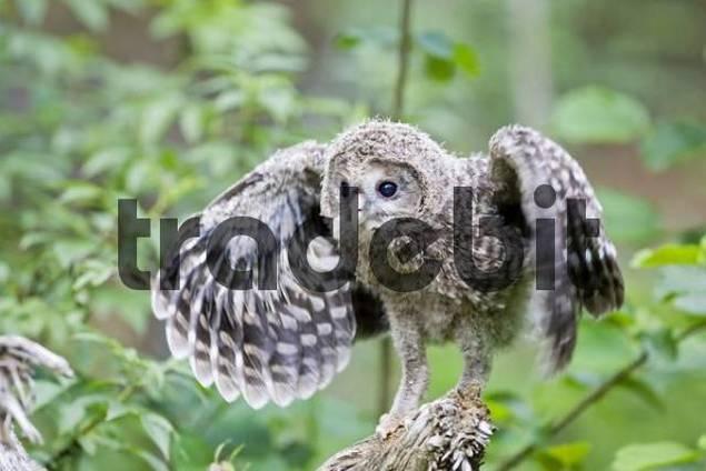 Young Ural Owl Strix uralensis practicing flying, Bavaria, Germany, Europe