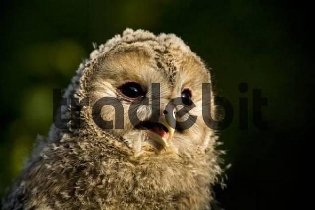Young Ural Owl Strix uralensis, Bavaria, Germany, Europe
