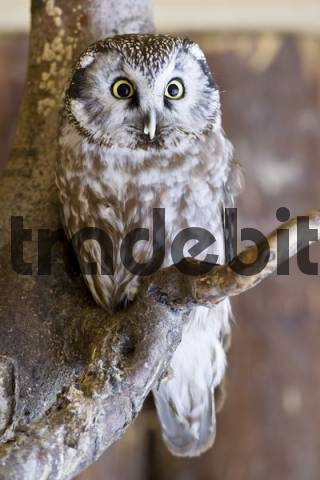 Tengmalms Owl or Boreal Owl Aegolius funereus, Bavaria, Germany, Europe
