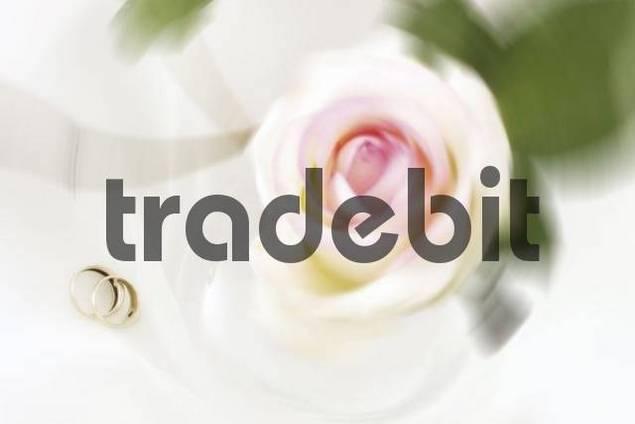 Floribunda rose with wedding bands wedding rings