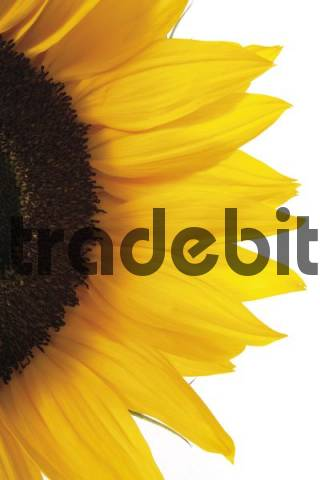 Closeup of a sunflower Helianthus annuus