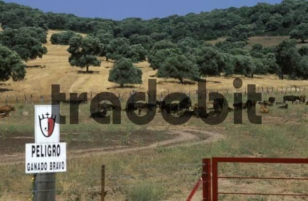 Sign, quotPeligro Ganado Bravoquot wild cattle crossing, Costa de la Luz, Cdiz Province, Andalusia, Spain