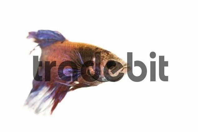 Siamese Fighting Fish, male Betta splendens