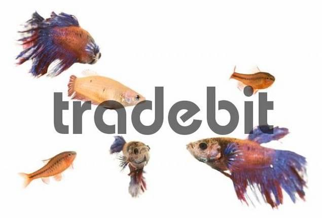 Siamese Fighting Fish Betta splendens and Cherry Barb fish Puntius titteya