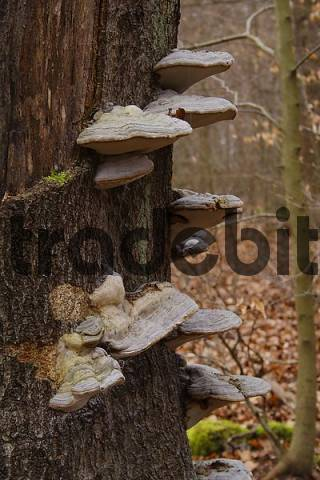 Bracket fungus or tree fungus on an old beech trunk, Lueerwald Forest, Sauerland, North Rhine-Westphalia, Germany, Europe