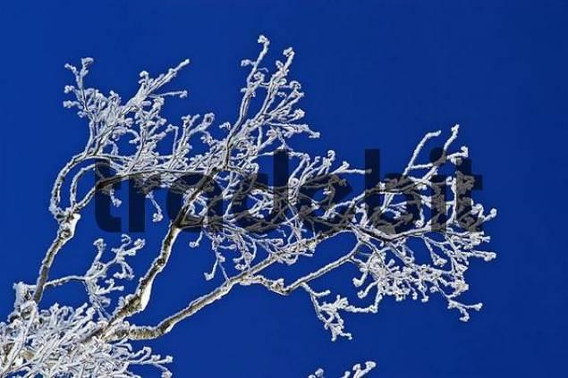 Alder twigs with hoar frost