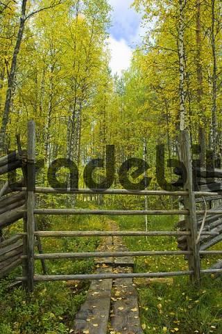 Reindeer fence, birch forest, autumn, Tiiliikajaervi National Park, Finland, Scandinavia
