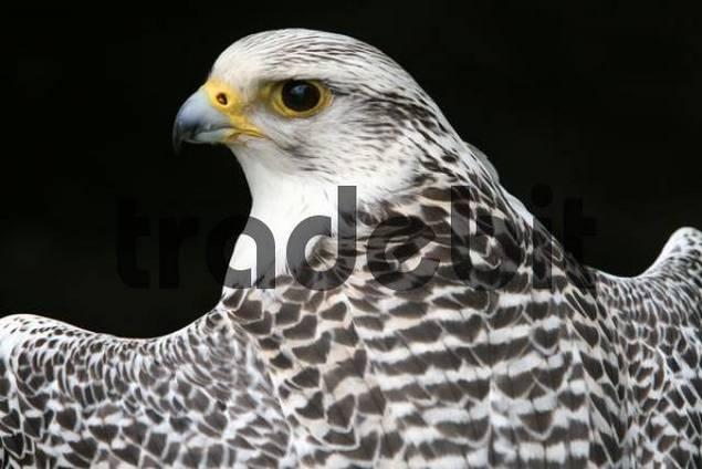 Gyrfalcon or Gyr Falcon Falco rusticolus looking back over its shoulder