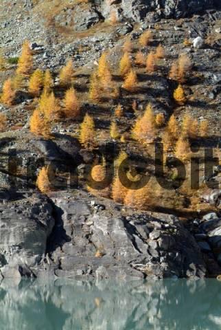 European Larches Larix decidua, Margaritze Reservoir, Hohe Tauern National Park, Carnithia, Austria, Europe