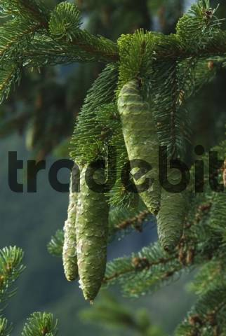 Norway Spruce Picea abies branches and cones, in Gaistal, Tyrol, Austria, Europe