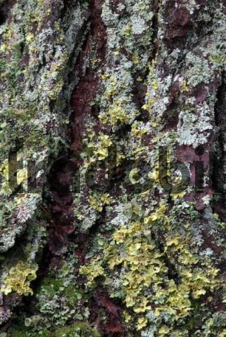 Norway Spruce tree bark Picea abies covered in moss and lichens, Grafenast, Pillberg, Tyrol, Austria, Europe