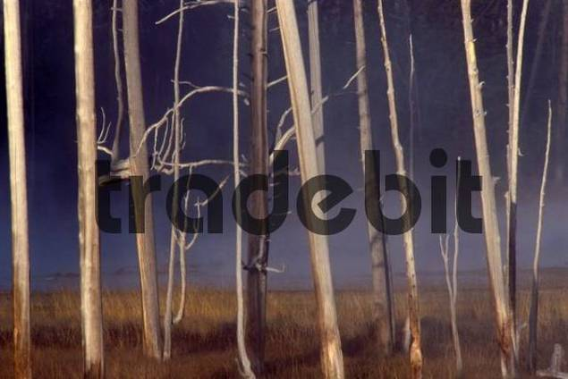 Dead trees in Yellowstone National Park, Wyoming, USA, North America