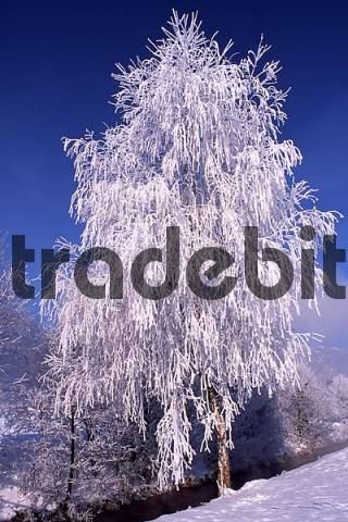 Snow- and frost-covered Silver Birch Betula pendula in Schlitters, Zillertal Valley, Tyrol, Austria, Europe