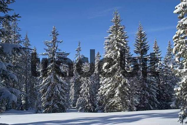 Snow covered firs Winkelmoosalm Upper Bavaria Germany