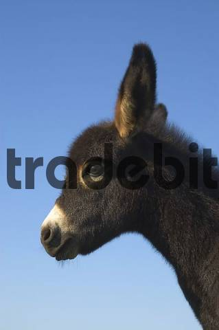 Portrait of a young donkey foal