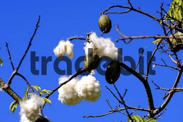 Kapok Silk-cotton tree Ceiba pentandra Brazil