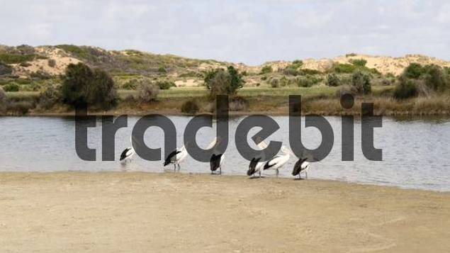 Pelicans Pelecanidae on a sand island in the Bowes River, Western Australia, Australia
